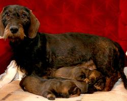 Du Puits Des Renards - Fraipont - Elevage de chiens